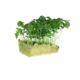 Green Shiso Cress
