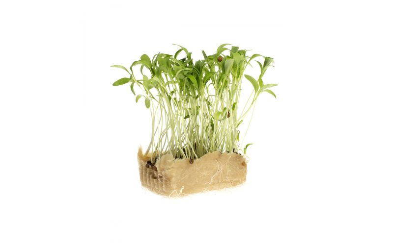 Coriander Living Cress